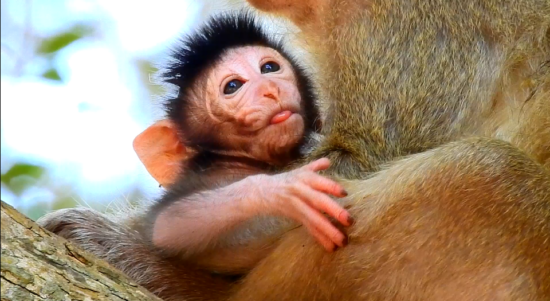 Today on 1- 20 - 2021 Two Monkeys In Amber Group Give Birth Are Piper And Princes